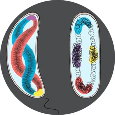 Chromosome Organization round small